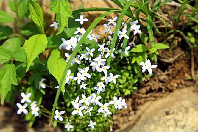 Густония голубая — houstonia caerulea hedyotis caerulea