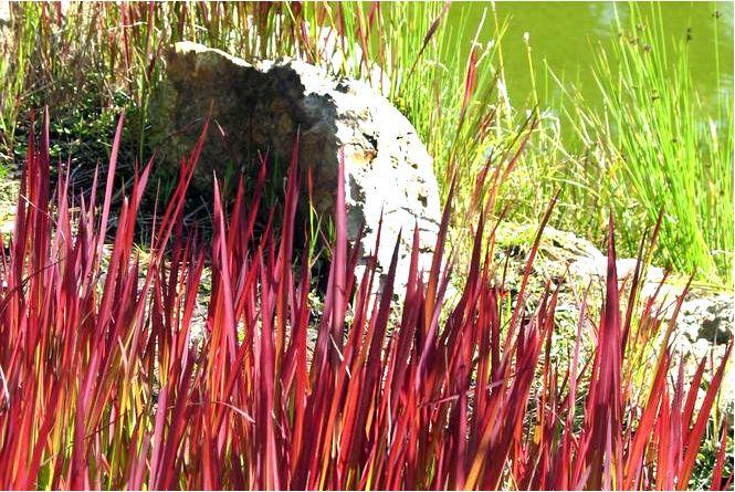 Цилиндрическая императа; красный барон; imperata cylindrica; красный барон