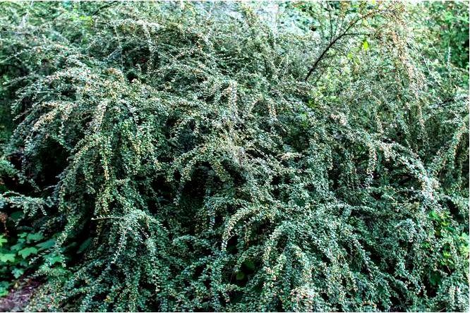 Ирга дильса — cotoneaster dielsianus