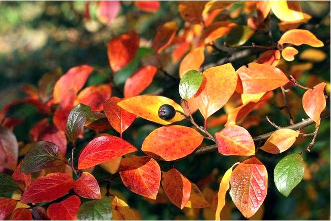 Ирга — эффектный листопадный кустарник, который легко выращивать