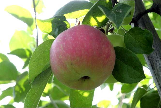Домашняя яблоня; ранняя женева; malus domestica; ранняя женева