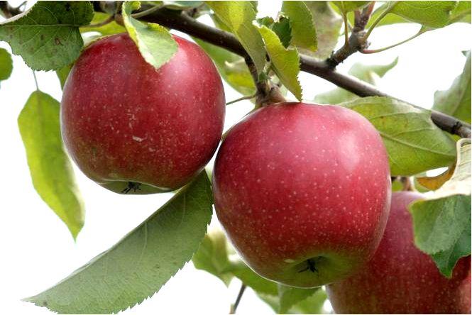 Яблоня 'jomured' — malus domestica 'jomured'