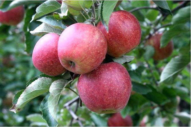 Домашняя яблоня; джонагоред; моррен; с джонагоред; malus domestica; джонагоред