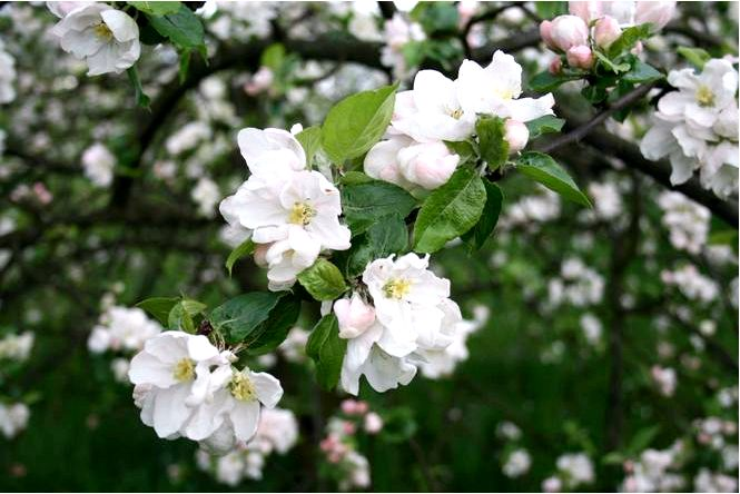 Домашняя яблоня — malus domestica