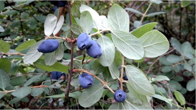 Камчатская ягода — lonicera caerulea l