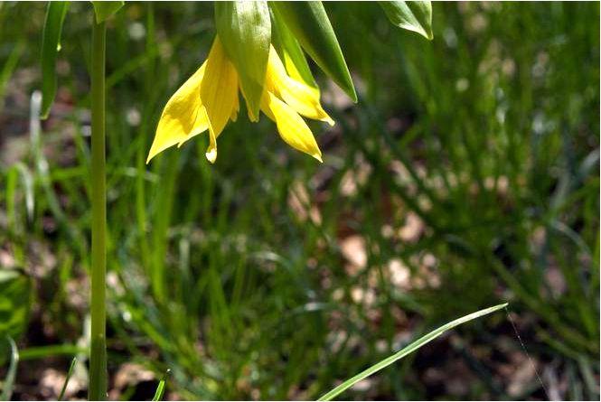 Ягода крупноцветковая — uvularia grandiflora