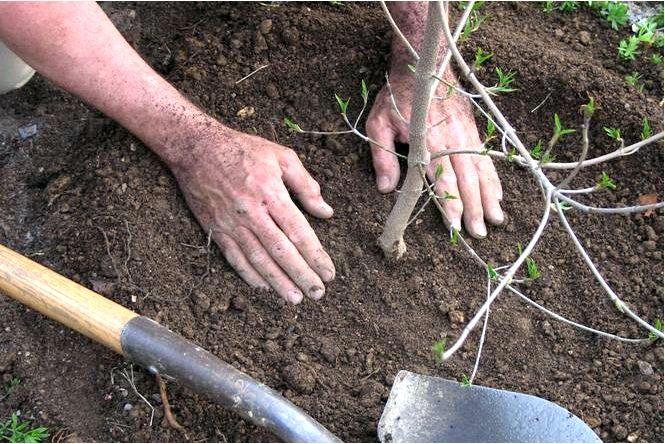 Как, когда и где сажать плодовые деревья и кустарники
