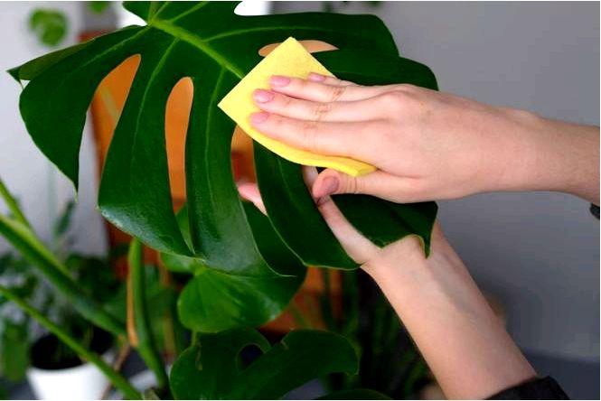 Как мыть листья комнатных растений очищаем комнатные растения от пыли