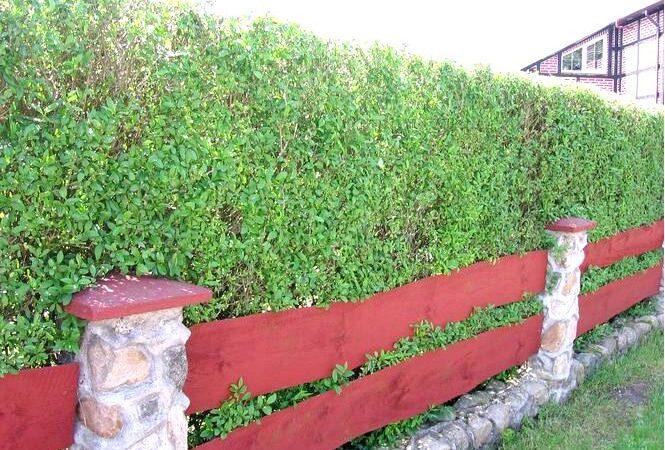 Как омолодить живую изгородь из бирючины